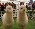 六一萌宠羊驼租赁展览哪里有动物租赁展览最高赔率公司