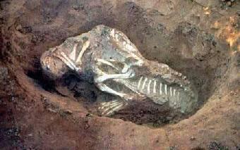 化石幼兽怎么样_