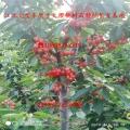 玛瑙红樱桃苗、玛瑙红樱桃苗新品种及直销基地