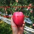 乐琪小苹果苗、1年生乐琪小苹果苗