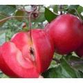2019年华珍苹果苗多少钱一棵 华珍苹果苗直销