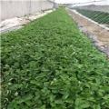 妙香7号草莓苗几月份成熟、口感怎么样