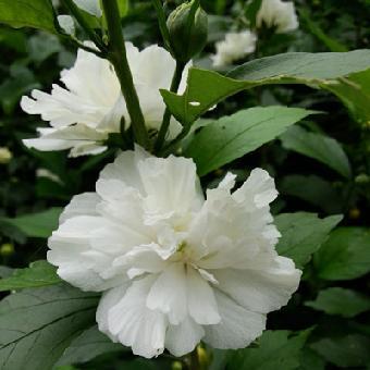 一级绿色蔬菜白花木槿江苏重瓣木槿花树苗量大