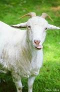 甘肅嘉仕乳業羊奶粉工廠代加工