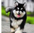 廣州哪有賣小狗的 廣州買阿拉斯加去哪好 帝威犬舍口