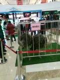 出租羊驼哪里有动物租赁展览最高赔率公司