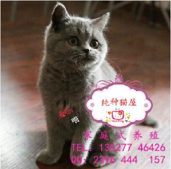 可爱胖乎乎的英短蓝猫自己会上厕所纯种蓝猫签协议保障 还有蓝白猫咪.