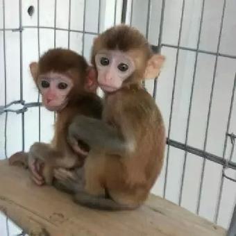 安徽哪里有猴子卖宠物猴子哪里有卖