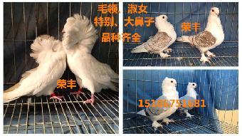 最大 观赏鸽/哪里卖的观赏鸽品种最全...