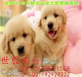 广州/广州哪里有正规狗场广州金毛专卖店 金毛的价格多少