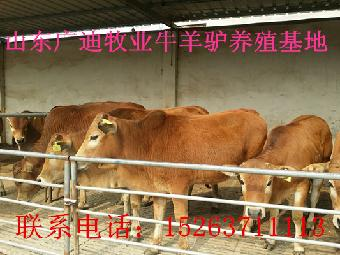 利木赞牛的特点_志趣网