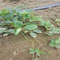 四季草莓苗、四季草莓苗价格及报价