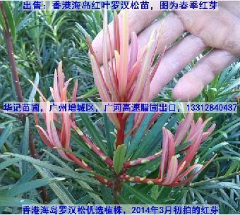 红叶菊花芯罗汉松,红芽罗汉松;彩叶罗汉松苗