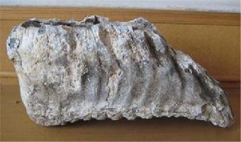 视频 象牙/猛犸象牙化石哪里可以交易