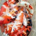 渔场大量出售观赏鱼锦鲤,红鲫鱼,价格优惠