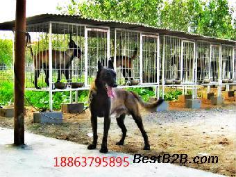 黑马犬二三个月马犬详细价格