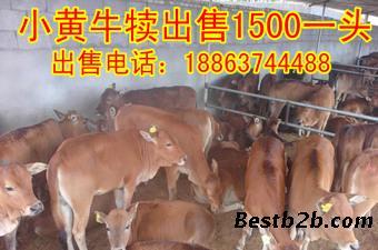 一头牛有多重小牛犊_志趣网