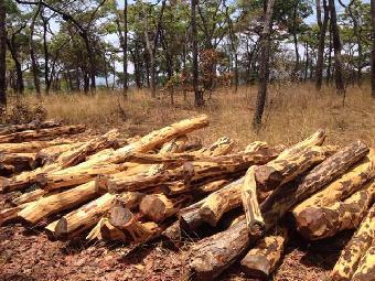 广州非洲赞比亚血檀市场价在多少一吨 进口全