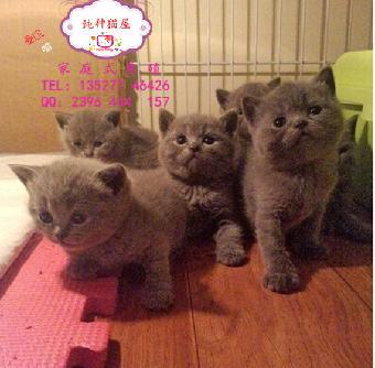 萌萌哒英短小蓝猫卖萌超级甜美可爱英短蓝猫宝贝