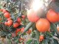 衡陽種植晚熟品種選世紀紅柑橘苗可抗寒零下低溫