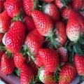 供應拉松6號草莓苗哪里賣