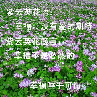 紫叶桃,紫丁香