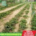 脫毒桃熏草莓苗基地價格