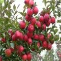 山東嫁接蘋果苗價格
