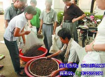 地鳖虫养殖_供应地鳖虫土元养殖技术合作包回收土元视频