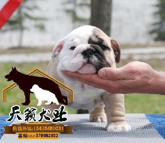 广州斗牛犬英国斗牛犬多少钱一只纯种健康