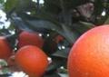 揭陽大量血橙的樹苗出售_揭陽血橙的樹苗大概在哪里買