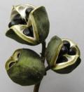 山西文冠果种子多少钱一斤?