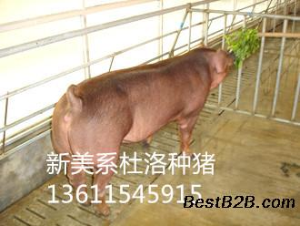 新美系杜洛克价格公猪丹系约克种种猪价格温氏视频资源站图片