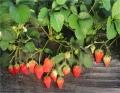 妙香草莓苗 直銷