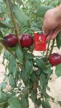 红肉李子苗品种基地行情