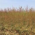 中华黑桃树苗、山东中华黑桃树苗、中华黑桃树苗基地