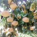 突围桃树苗、突围桃树苗出售、突围桃树苗价格