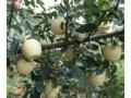 維納斯黃金蘋果樹苗2019年批發價格多少錢