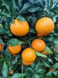 愛媛38號柑橘種植技術 比臍橙管理抗病害強