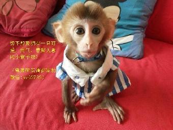 宠物猴非常美丽优雅,十分温顺