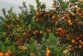 河源明日见柑橘苗出售&河源明日见柑橘苗价格多少钱&