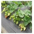 巨星一號草莓苗價格 巨星一號草莓苗多少錢一棵