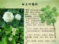 三葉草種子價與綠肥