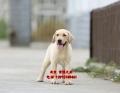 北京哪賣拉布拉多導盲犬價錢 純種拉布拉多犬出售