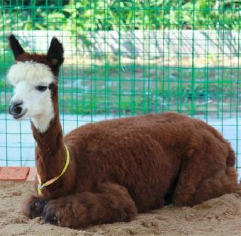 潜江市动物马戏团,出租动物,租赁羊驼.