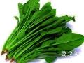 菠菜的種植方法以及種植時間