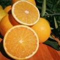 一年生錦蜜冰糖橙苗基地直供簽訂購苗合同保品種