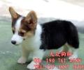 廣州好一點的狗場、廣州哪里有繁殖寵物狗出售