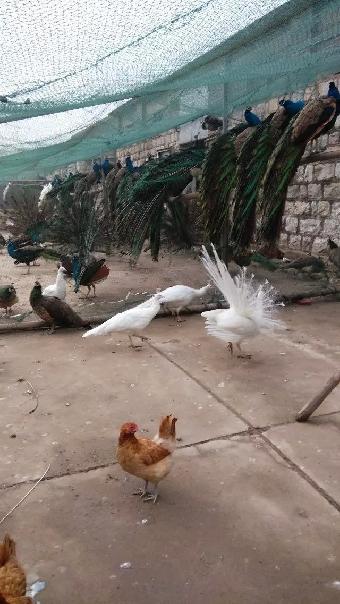 山东种商品白底、孔雀价格价格、火鸡苗、孔雀灰板纸山鸡图片