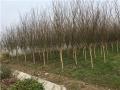 河南4公分紫薇種植基地貨源充足